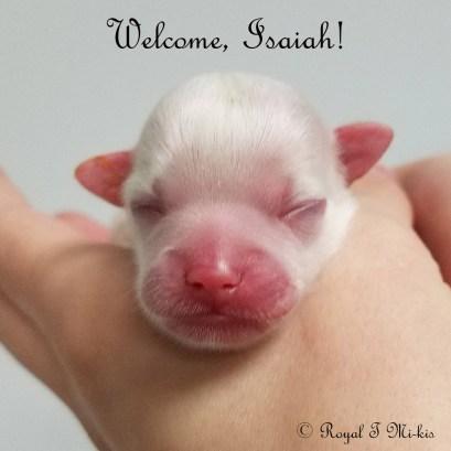 Isaiah_Mi-ki_Puppy_20180918_Royal-T-Mi-kis-3c