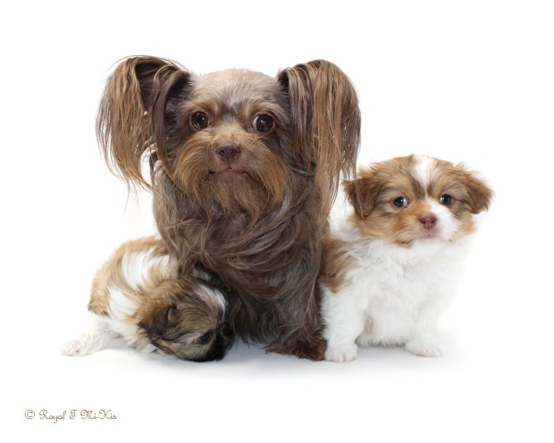Savannah, a chocolate Mi-Ki with her puppies