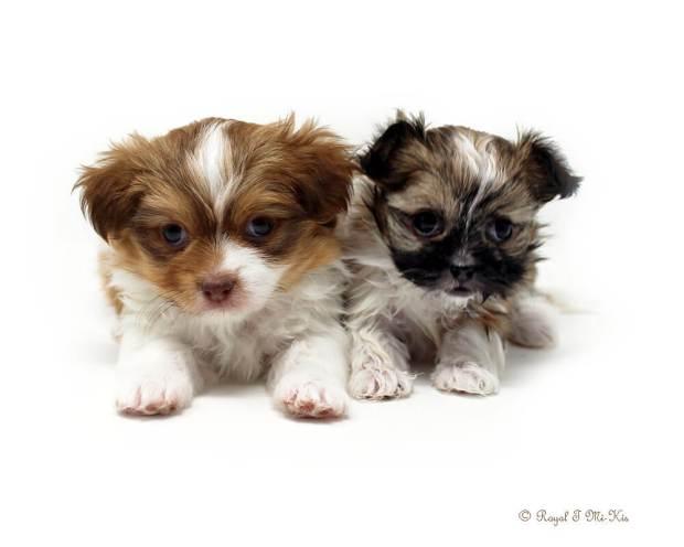 Mi-Ki Puppies for Adoption in Colorado