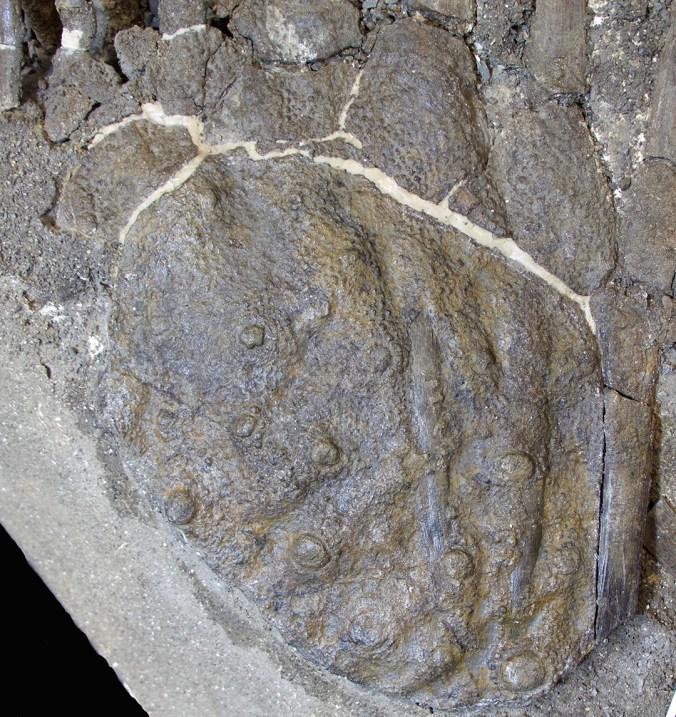 5-Prosaurolophus-Skin.jpg?resize=676%2C717&ssl=1
