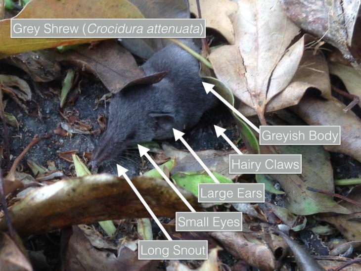 Grey Shrew - Features