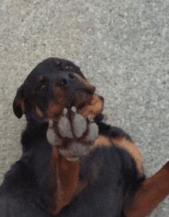 """""""Roadie"""" the rottweiler"""