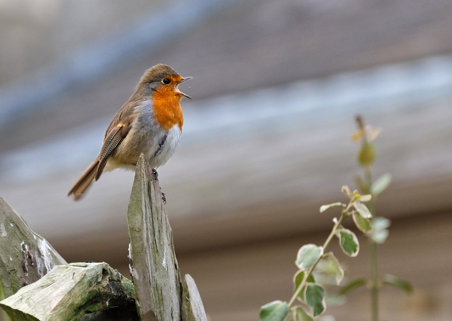 A very Happy Robin