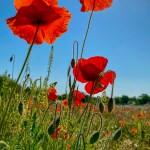 Poppies on the Heath