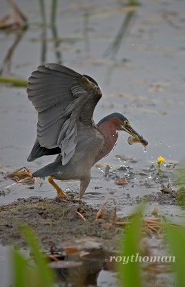 Little Green Heron fishing