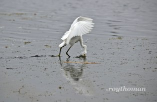 Snowy Egret fishing.