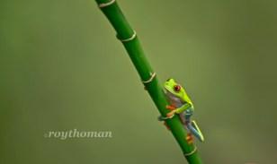 Frog Reptile Macro WS 011