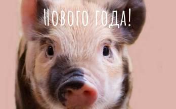 открытки со свиньёй на новый год