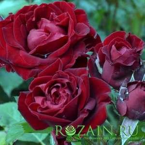Сорт: Блек Джэк, группа роз: Флорибунда