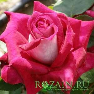 Сорт: Моника Беллуччи, группа роз: Чайно-гибридные