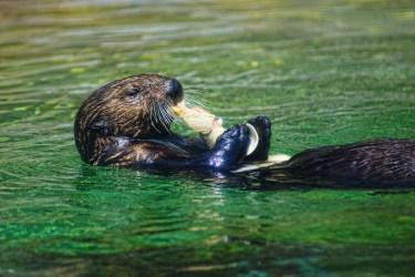 Otter swim 3 det
