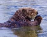 Otter swim det best