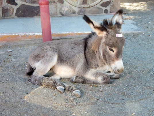"""Young donkey taking a mid-morning siesta. The small white sticker attached to his head instructs tourists to """"Stop. I'm too young for burro-cubes"""". The little guy is still nursing from his mama."""
