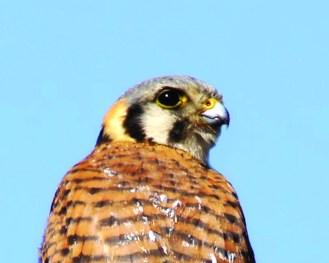 Female Kestrel showing twin stripes on cheek