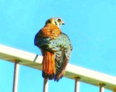 Male Kestrel showing off his blue coat