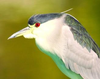 Black Capped Night Heron eyes of red