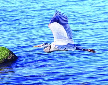 Blue Heron flys over Pelican Point