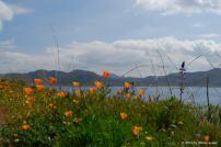 Hillside Poppies. Diamond Valley Lake, California