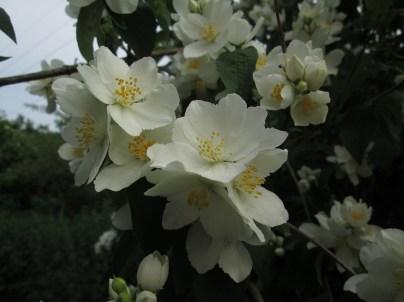 Pfeifenstrauch-Blüte