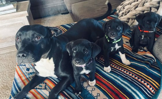 Three pups with foster sister Shasta