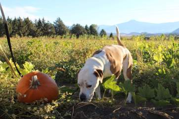 Olive in the pumpkin patch