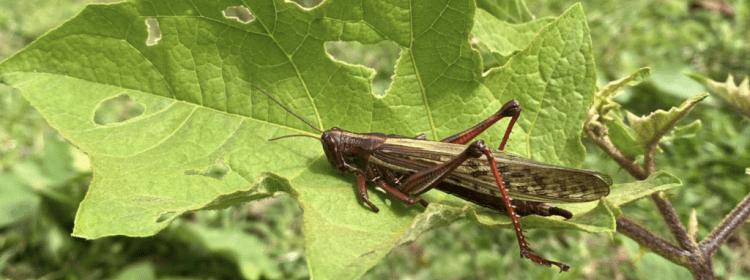 Declaran emergencia fitosanitaria por plaga de langosta voladora