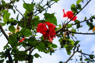 hibiscus and the spider