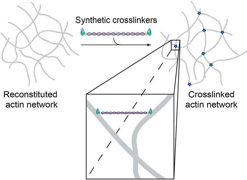 Biomimetic molecules to program cell mechanics