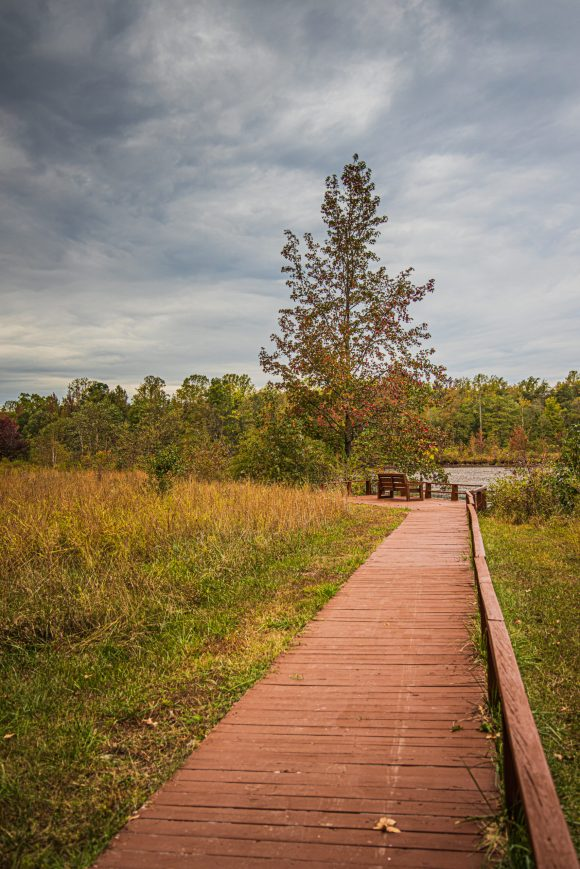 A wooden path that leads to a bench with a tall tree to the left of the bench. The bench overlooks a body of water that is very low and to the left of the image, there is a field of tall grasses.