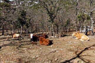 Des vaches ?!