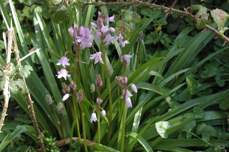 Pink Bluebell