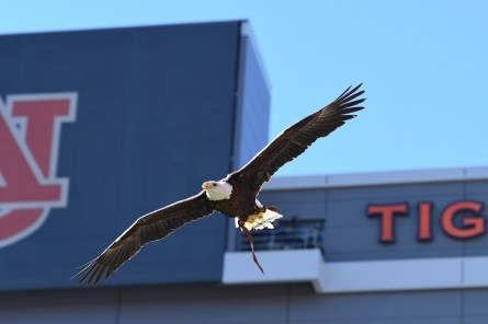 Auburn University is retiring 25-year-old bald eagle Spirit from pregame flights after this football season. She will make her final flight Nov. 13 prior to the military appreciation game, when Auburn hosts Mississippi State. (Auburn University)