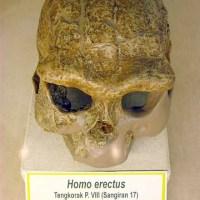 Manusia Jawa adalah nenek moyangnya manusia modern