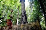 misteri di balik pesona pohon Tarra (3)