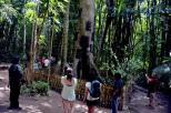 misteri di balik pesona pohon Tarra (4)