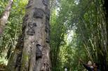 misteri di balik pesona pohon Tarra (7)