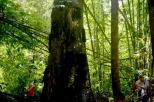 misteri di balik pesona pohon Tarra (9)
