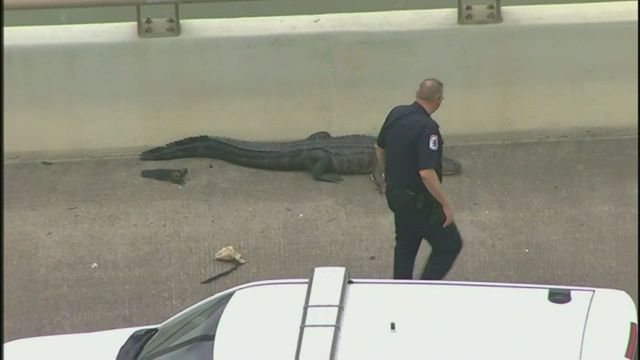 Alligator blocks traffic on Houston bridge