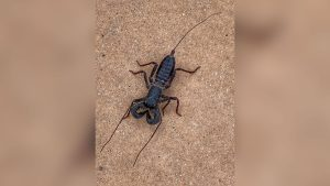 Acid-shooting whip scorpions are roaming a national park in Texas