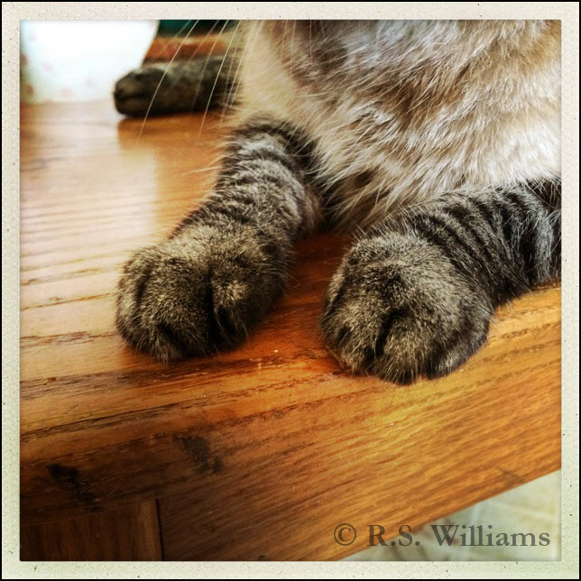 Close-up view of a part-Siamese/part-gray tabby cat's front paws: striped like a tabby cat, but also with the color gradient of Siamese cat