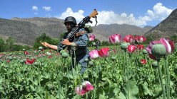 An Afghan security force member destroys poppy fields in the Noor Gal district of eastern Kunar province on April 13, 2013. (AFP Photo / Noorullah Shirzada)