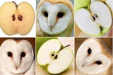 ¿Búho o manzana?