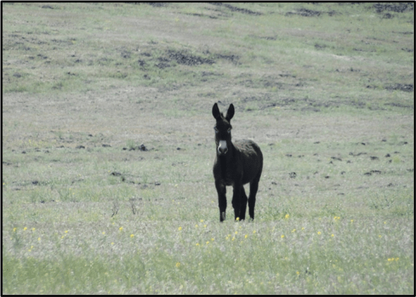Wild Burro- Smoke Creek Road
