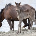 Action Alert Please Help Sand Wash Basin Wild Horses By Commenting On Roundup Plan And Demanding Water For The Horses Straight From The Horse S Heart