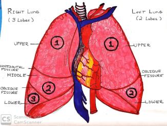 lung_drawing_rachel_clevenger_1