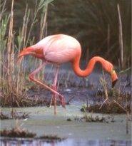 flamingo rot 03