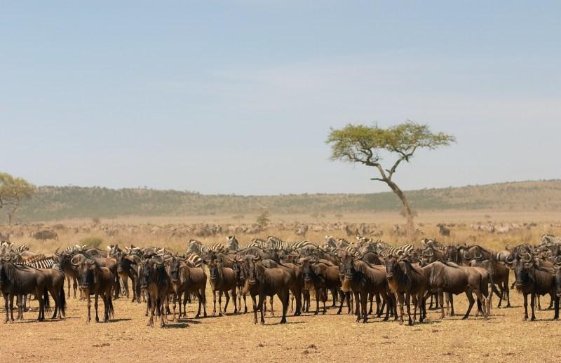 Wildebeest with Zebra, Serengeti.