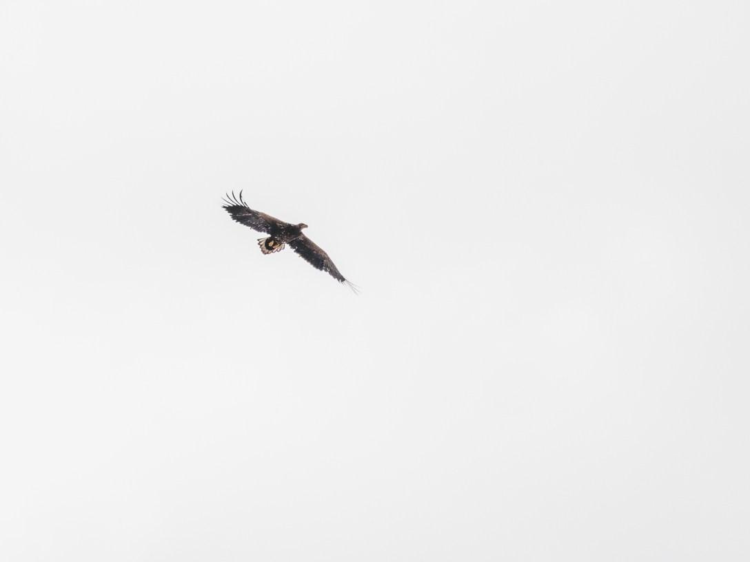White Tailed Eagle at Glencoe