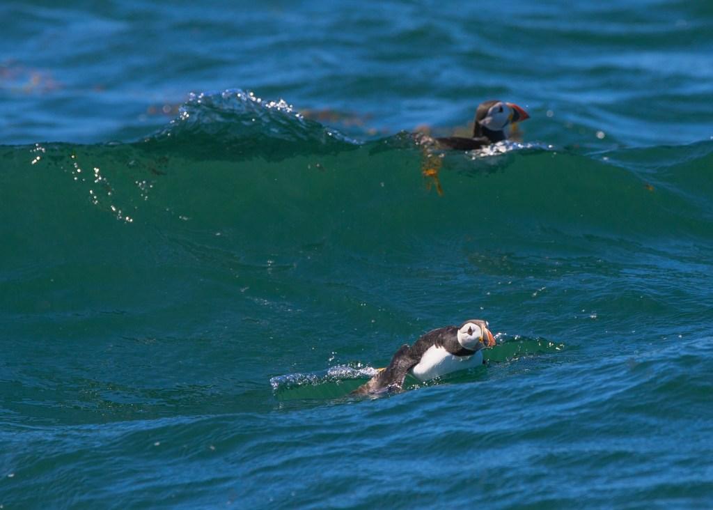 surfing puffins