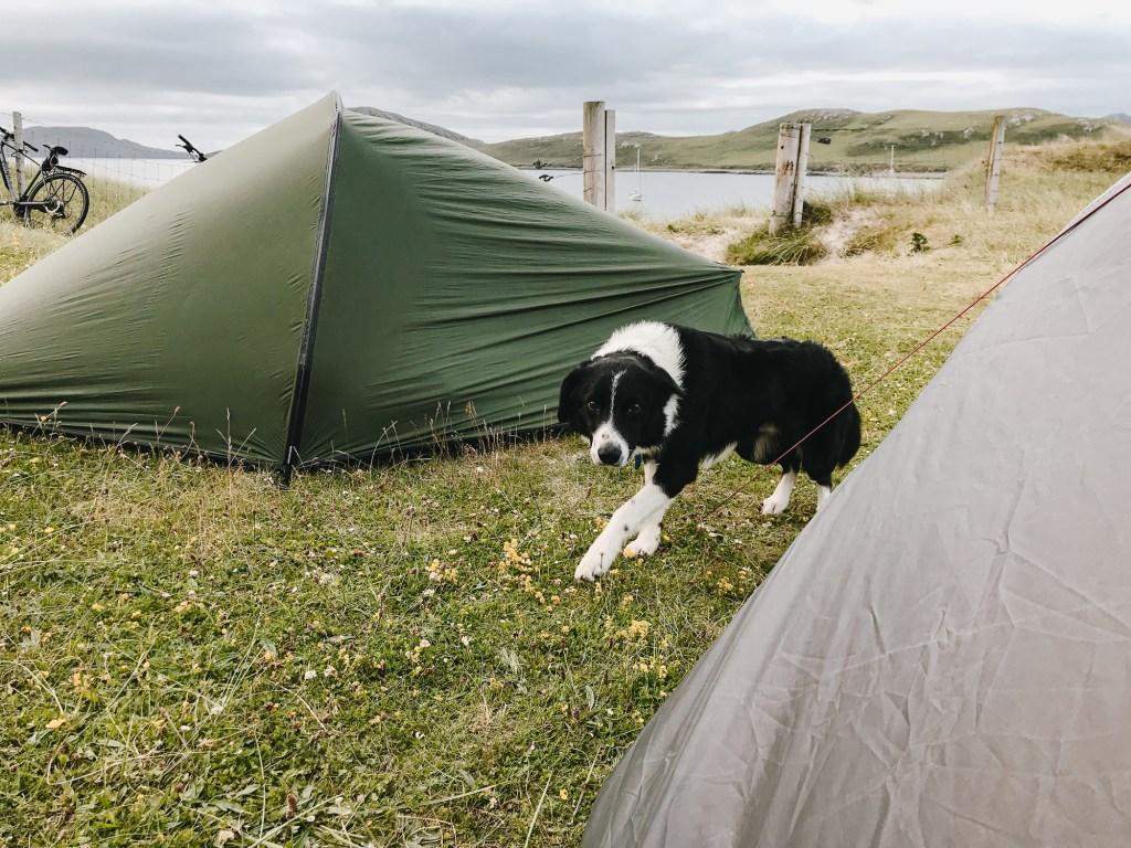 border collie between tents